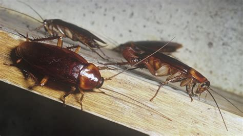 giant red roaches invade italy