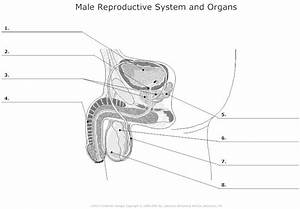 Male Reproductive System At Washtenaw Community College