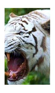 picture of a white tiger. Taken from http://www.fun-facts ...
