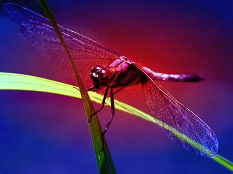 Wallpapers Dragonfly