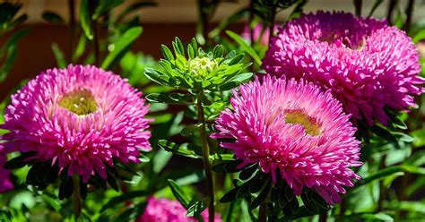 How To Grow China Aster Callistephus Chinensis