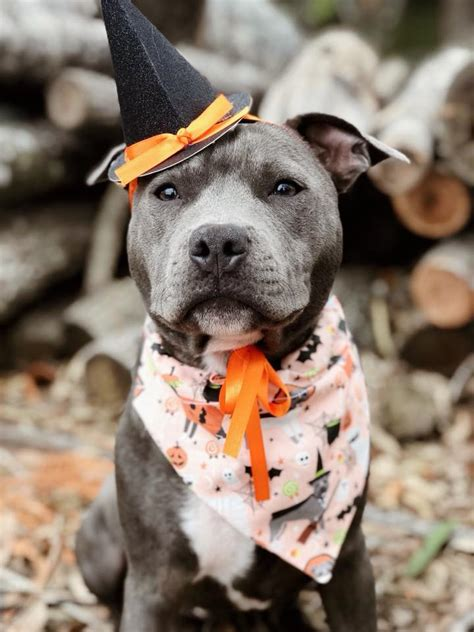 greatest pit bull halloween costumes  page