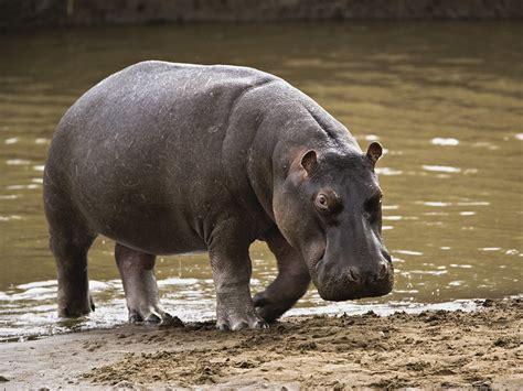 si e social hippopotamus di qua e di la parchi nazionali kenia national parks