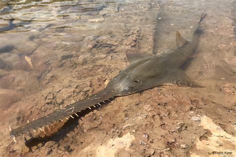 largetooth sawfish pristis pristis