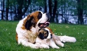 saint bernard dog breed information