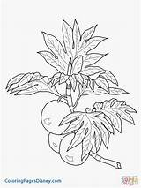 Grapefruit Drawing Coloring Getdrawings Pages Breadfruit sketch template