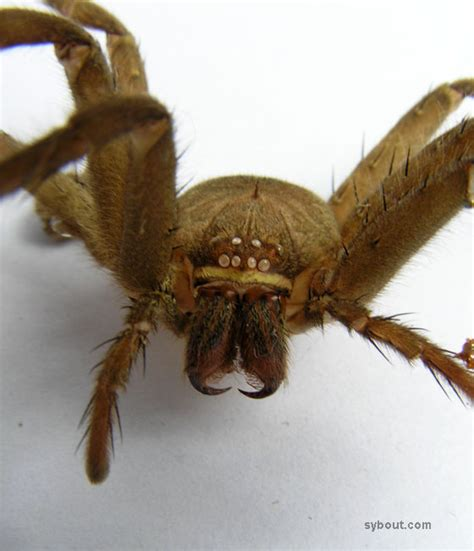 Do Tarantulas Shed Their Fangs by Tropical Garden Animals Spiders Indonesia