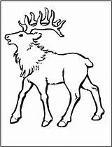 Elk Coloring Pages Animals Bull Mountain Rocky Animal Printable Sheet Simple Hunting Fun Sheep Template Popular sketch template