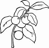 Cherry Coloring Pages Supercoloring Coloringpages101 sketch template