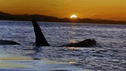Whale Orca Killer Whales Gifs Cousteau Jacques