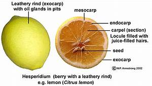 Fruit Terminology  Part 4