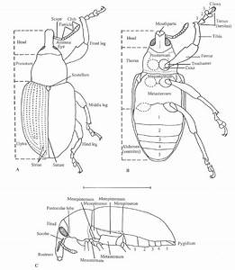 Morphology Of A Generalized Curculionidae   A  Dorsal