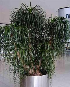 Zimmerpflanze Große Blätter : elefantenfu beaucarnea recurvata infos zur pflege als ~ Lizthompson.info Haus und Dekorationen