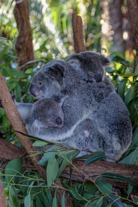 mother koala cuddling  twins shutterbug