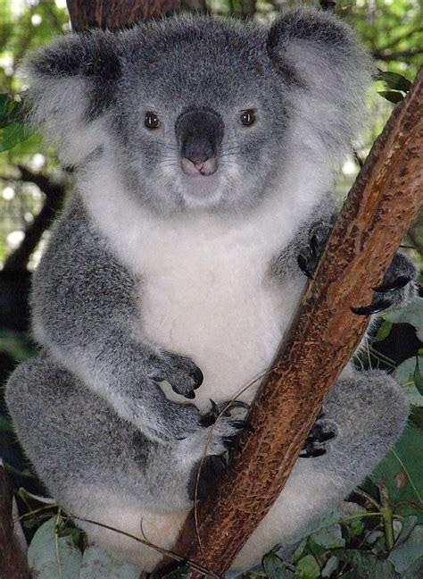 file friendly koala jpg
