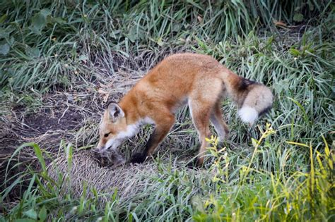 Red Fox Redux — Or Why I Miss The Foxes In My Backyard