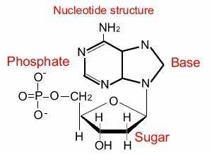 Importance and Chemical structure of Nucleic acids ...
