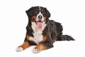 Berner Sennenhund Gewicht : berner sennenhund charakter bilder und beschreibung der rasse hunderassen b ~ Markanthonyermac.com Haus und Dekorationen