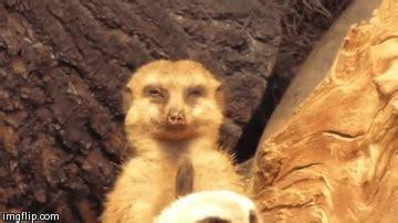 tired meerkat reaction gifs