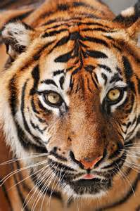 Animal Bengal Tiger Eyes