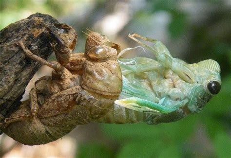 Cicada Shedding Its Exoskeleton by Science Study Guide 2013 14 Mancuso Instructor Mancuso