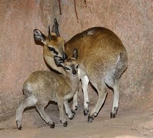 Klipspringer: the Adorable 'Rabbit' Antelope of Africa