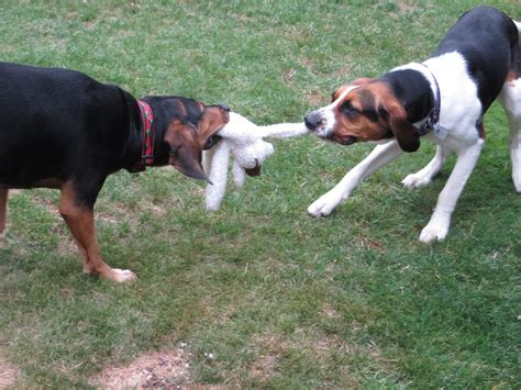wild dog frontier coonhound cinnamon traveling francesca competition always