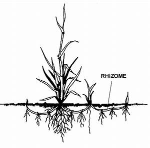 Rhizomes | Alternate ROOTS