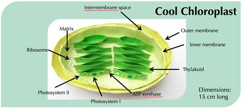 what color are chloroplasts what color are chloroplasts ecology project unit 6 this