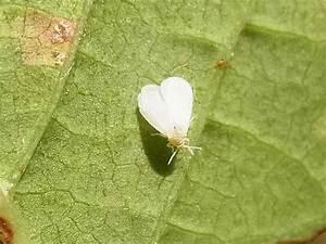 Basilikum Weiße Fliege : insekten teil 3 ruhrgebiet ~ Articles-book.com Haus und Dekorationen