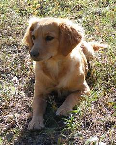 Toy Golden Retriever – Wow Blog