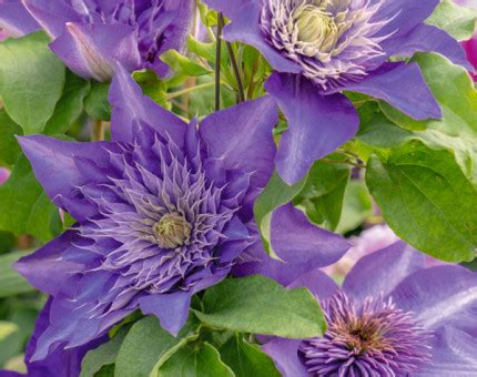 Clematis Nelly Moser 1747 our range