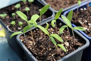 Planter Des Graines De Tomates : a quelle periode planter les graines de tomates ~ Dailycaller-alerts.com Idées de Décoration