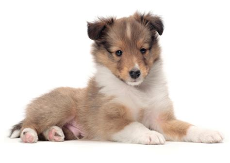 shetland sheepdog shed what are the best dogs for time owners vets place