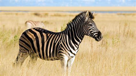 Zebra  San Diego Zoo Animals & Plants