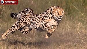 Cheetahs Can Be Faster Than Ferrari