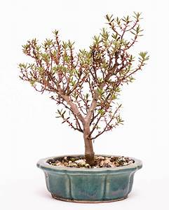 Bonsai Stecklinge Machen : entwicklungsstadien einiger sukkulenten bonsai ~ Indierocktalk.com Haus und Dekorationen