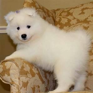 silky puppy