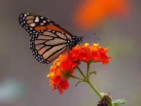 Fotos De La Mariposa Monarca