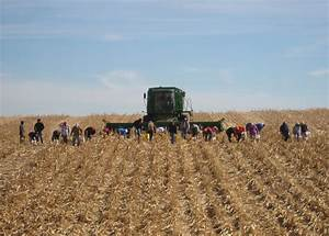 Tips For Harvesting Downed Corn, And Dealing With The ...