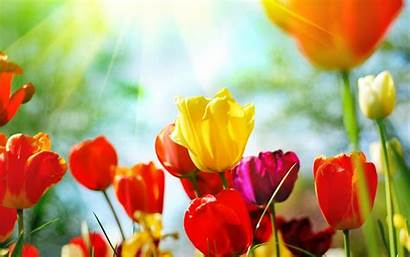 Spring Tulips Sun 1200 1920 Wallpapers