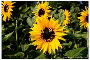 Growing Sunflowers When To Plant And How To Grow