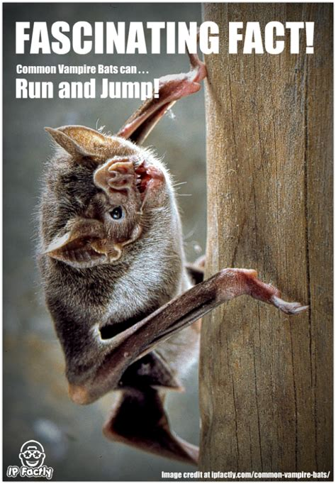 common vampire bats  run  jump  learning