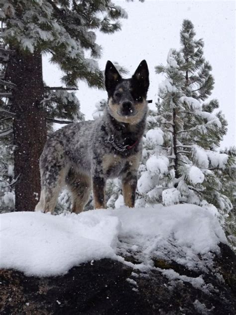 Blue Heeler Shedding In Winter 341 best images about australian cattle dogs blue