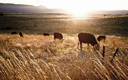 Farm Animals Background Cows Field Fence Landscape
