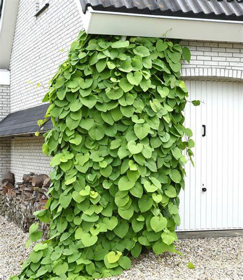 Kletterpflanzen Immergrün Winterhart by Pfeifenwinde Kletterpflanzen Bei Baldur Garten