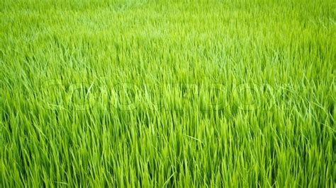 green view  rice plant  paddy field stock photo