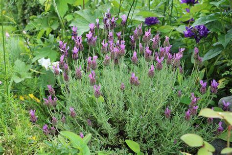 Lavendel Richtig Pflegen by Schopflavendel Lavandula Stoechas Richtig Pflegen Und