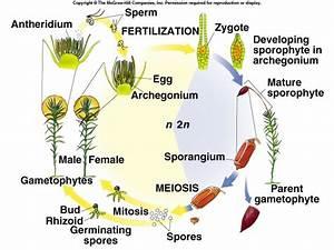 Gametophyte And Sporophyte In Bryophytes