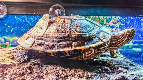 eared slider shedding turtle shell peeling and shedding scutes why they do this